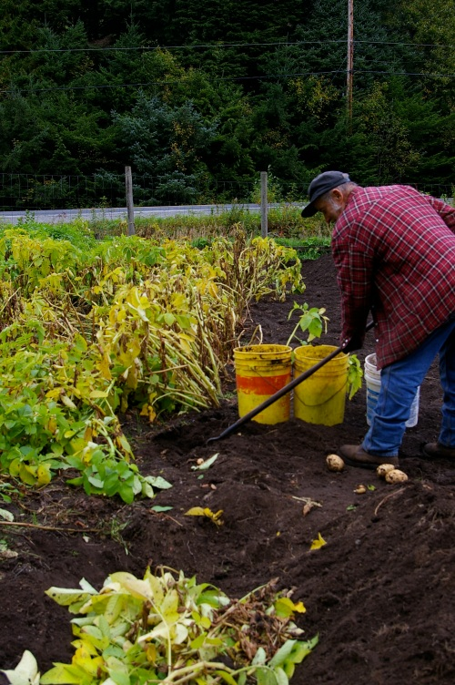 While digging potatoes, he uses the tops as back-fill to be composted directly into the soil