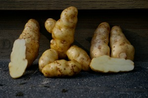 Some of Clarence's Ozette potatoes sitting on my porch; notice the knobbly one in the centre, that's all one potato!