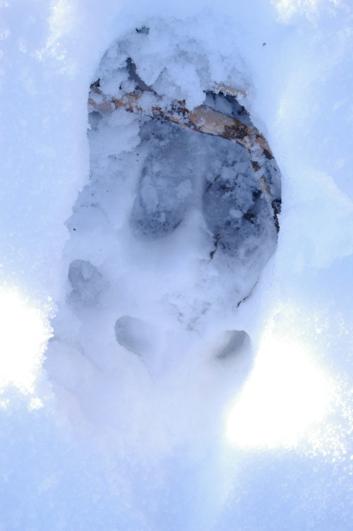 Moose track in snow.