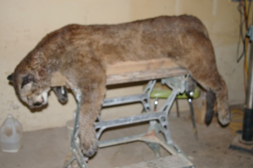 Cougar ready for back cut skinning.