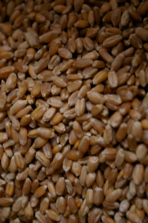 Canadian heritage organic Red Fife wheat from Saskatchewan.