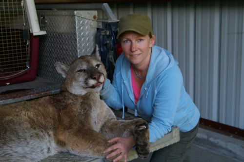 This cougar has a belly full of dog.
