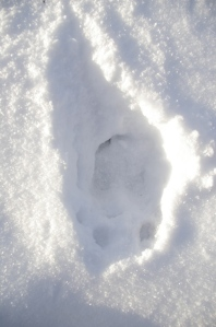 Fresh moose tracks in snow.